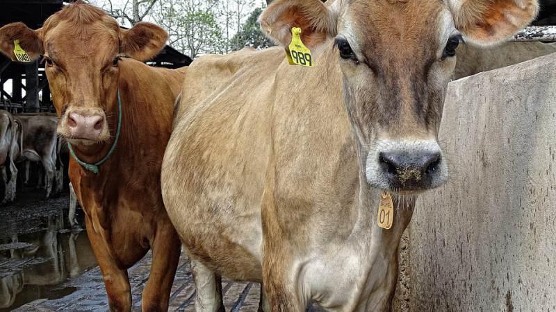 Radio 538 betaalt embryo's koe voor Laura uit Rockanje