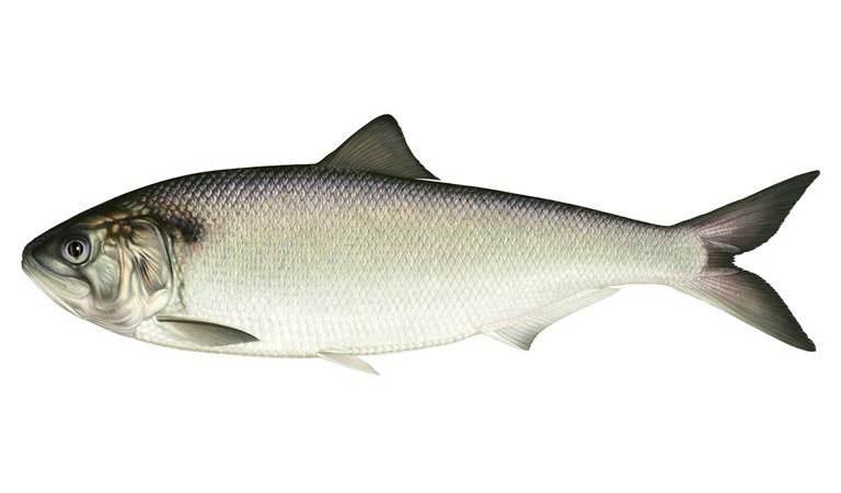 Vangsten van zeldzame elft in de Haringvlietdelta