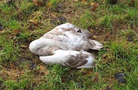 Opnieuw gewonde zwaan in Vrijheidsbos